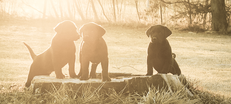 Black Lab Puppies for Sale in Nebraska