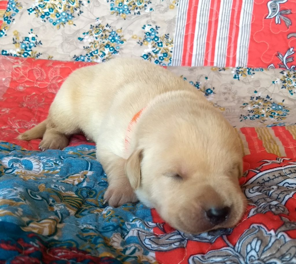AKC yellow labs for sale