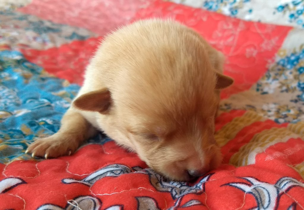AKC Registered Yellow Lab for sale