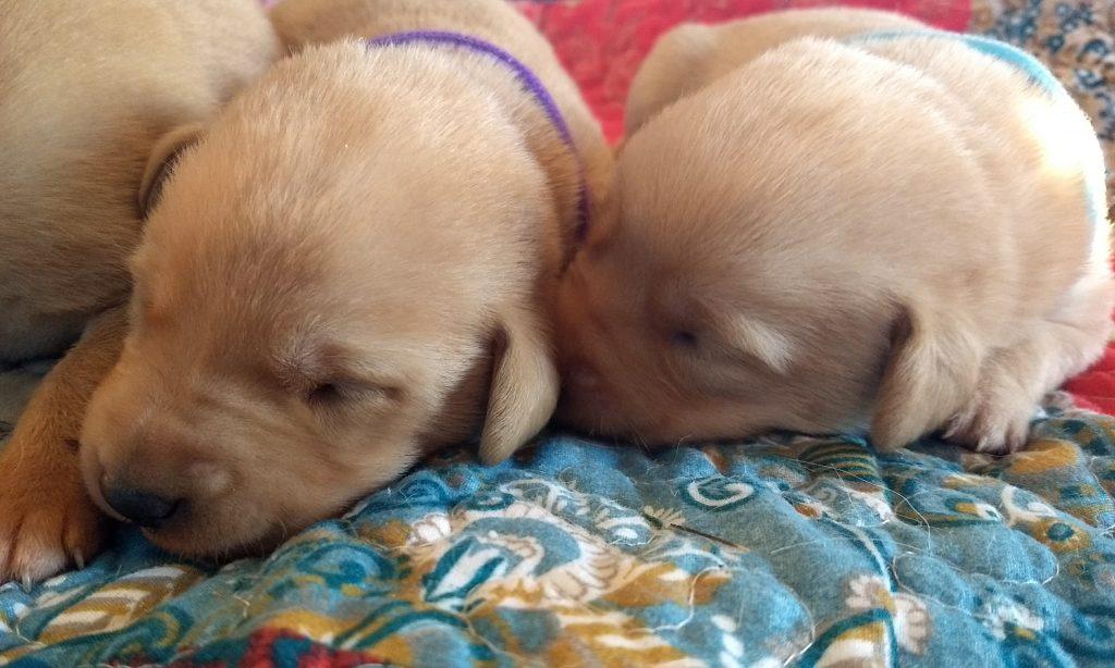 Central Nebraska AKC Registered Labrador Retriever for Sale