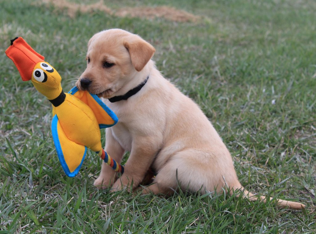 Purebred Labs for Sale in Nebraska