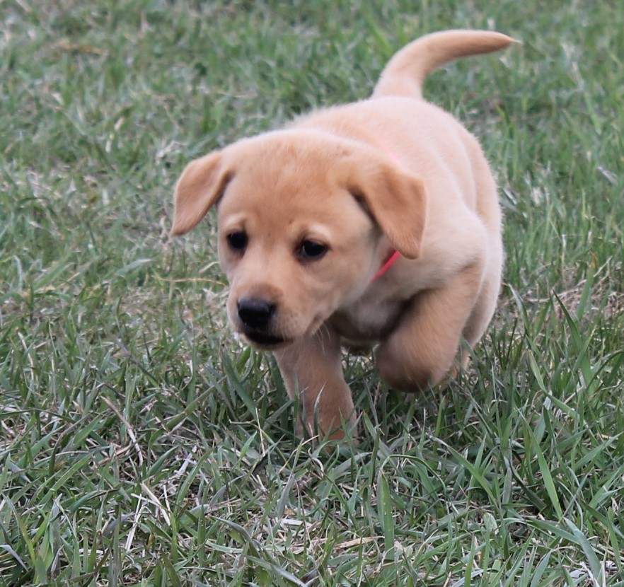 Nebraska Yellow Labrador Breeder