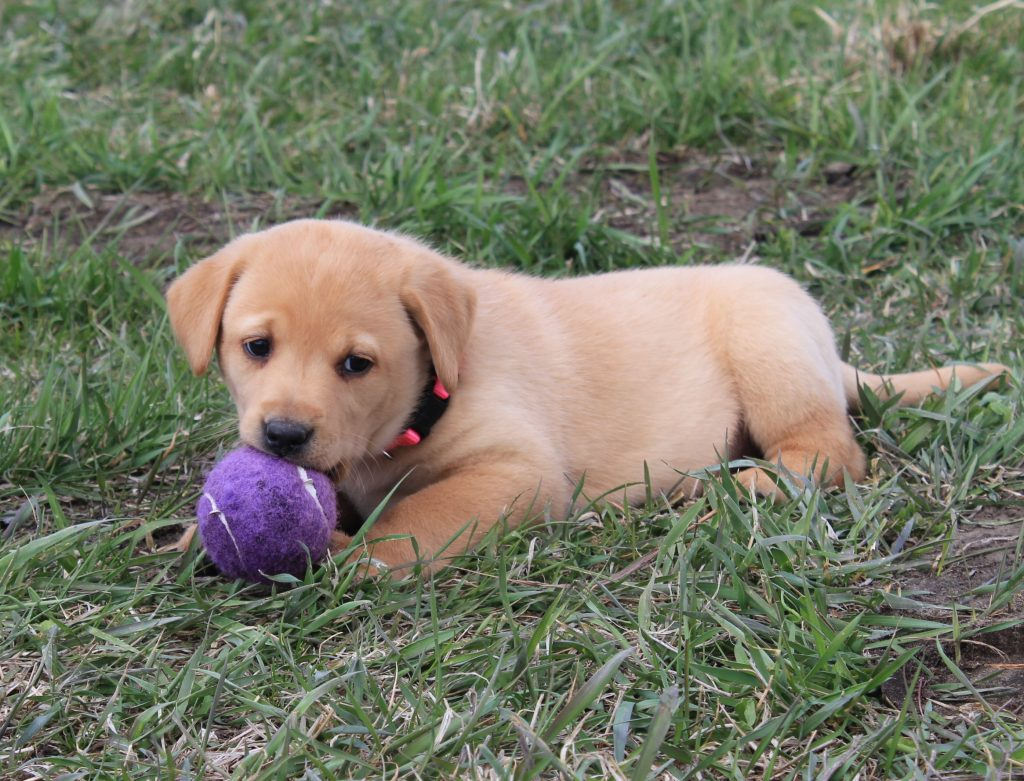 Nebraska Yellow Labrador Puppies