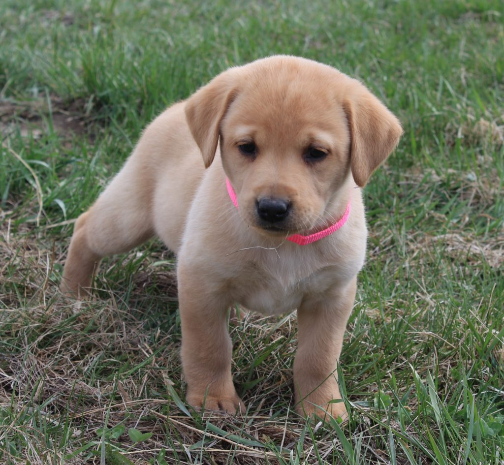 Nebraska Labrador Puppies for Sale