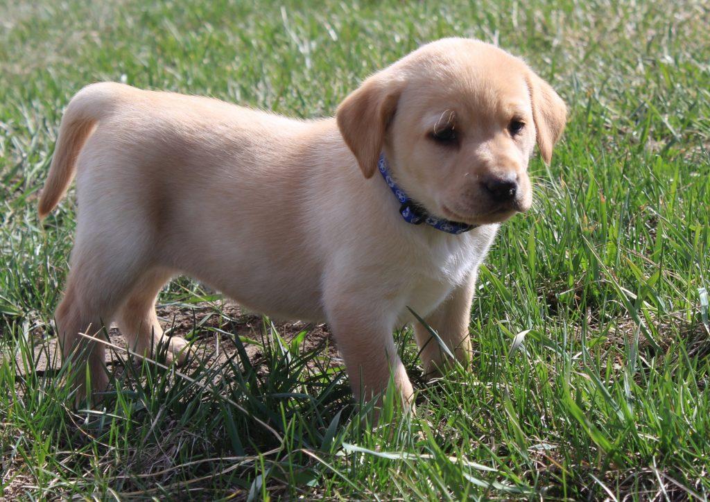 Nebraska Labrador Retrievers for Sale