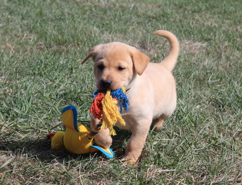 Lab Puppy for Sale in Nebraska