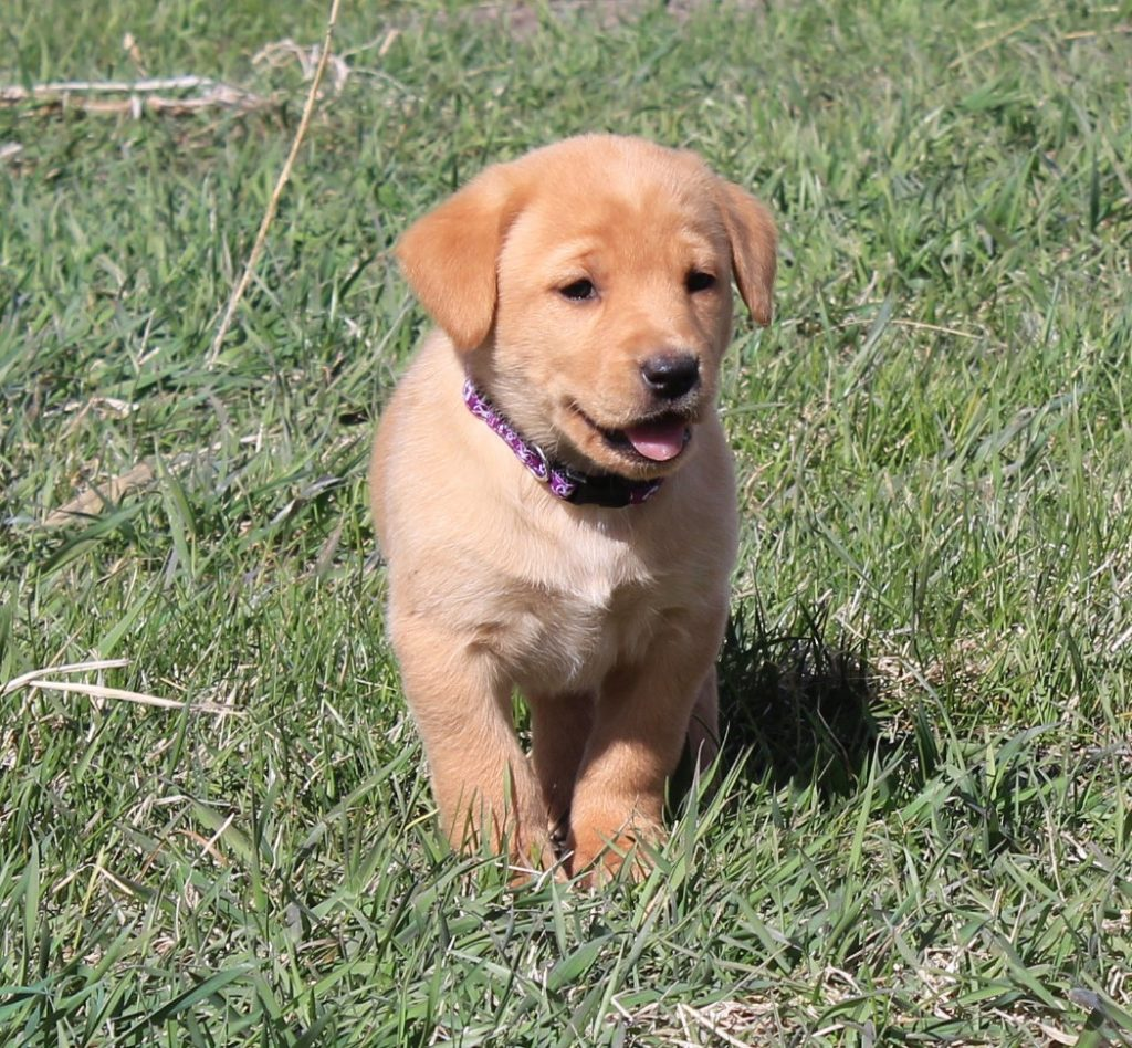 Nebraska Yellow Labradors for Sale