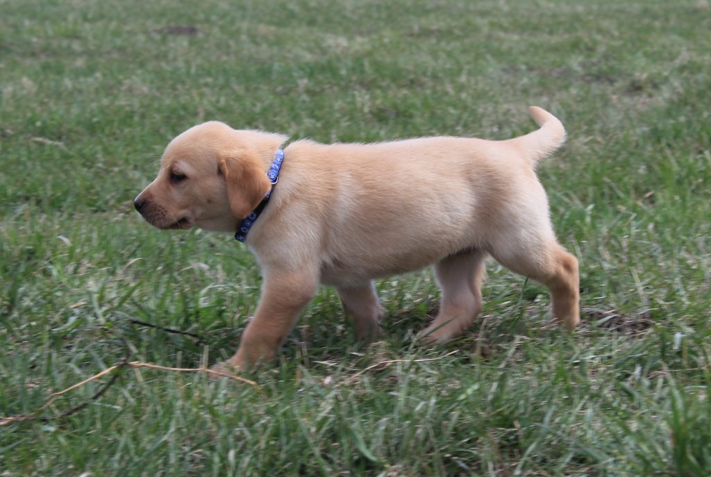 Nebraska Purebred Labs for Sale