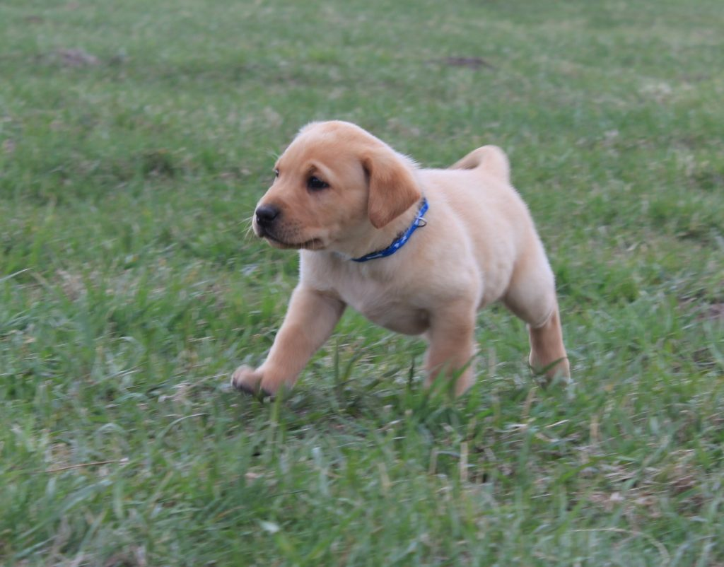 Nebraska AKC Lab Puppies for Sale