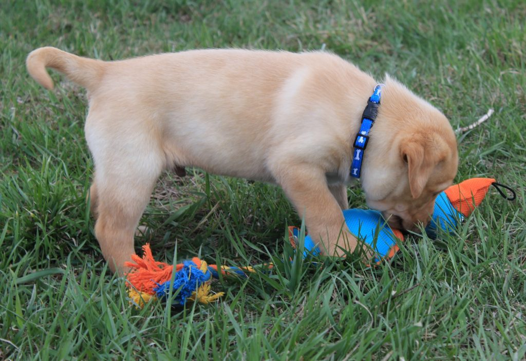 Nebraska Lab Puppies for Sale