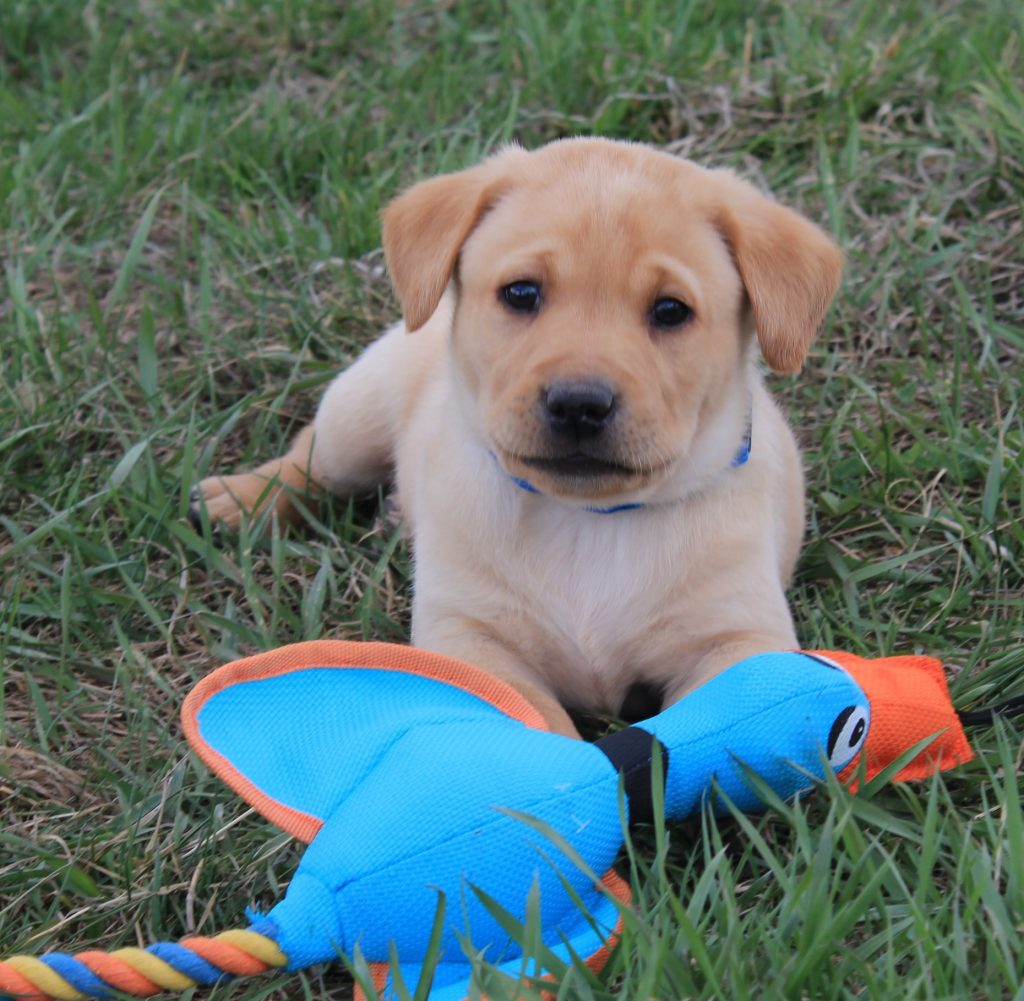 Nebraska AKC Labrador Retrievers