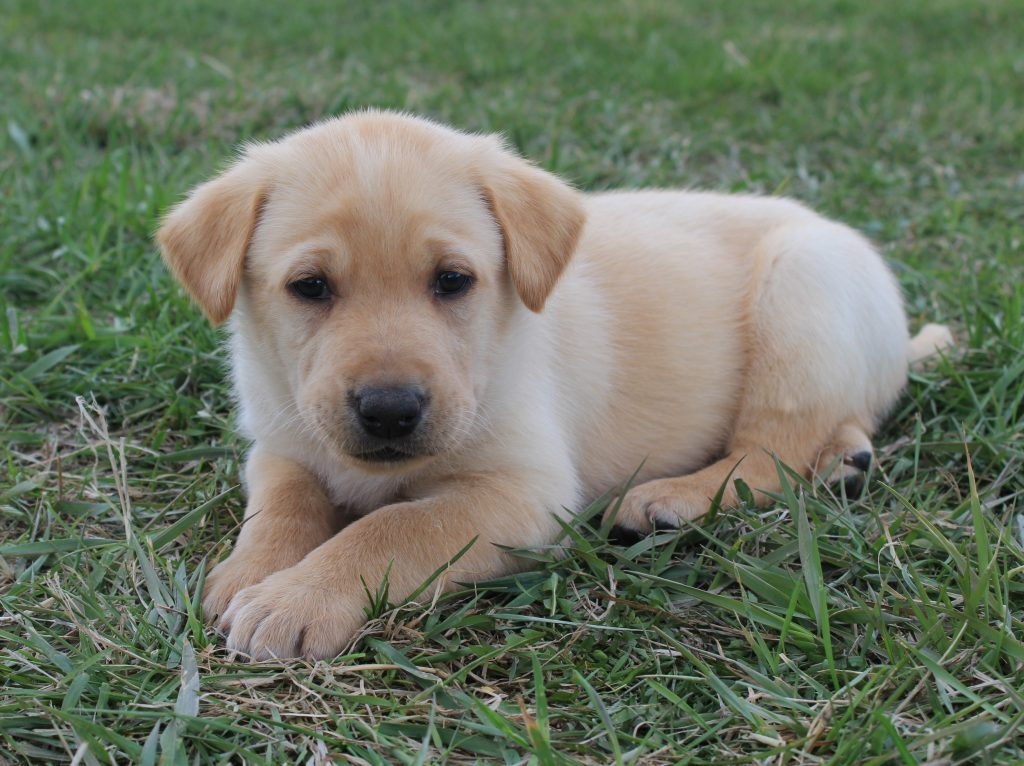 Nebraska Purebred Yellow Lab Puppies for Sale