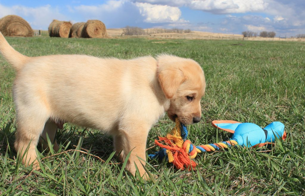 Nebraska Registered Lab Puppies for Sale