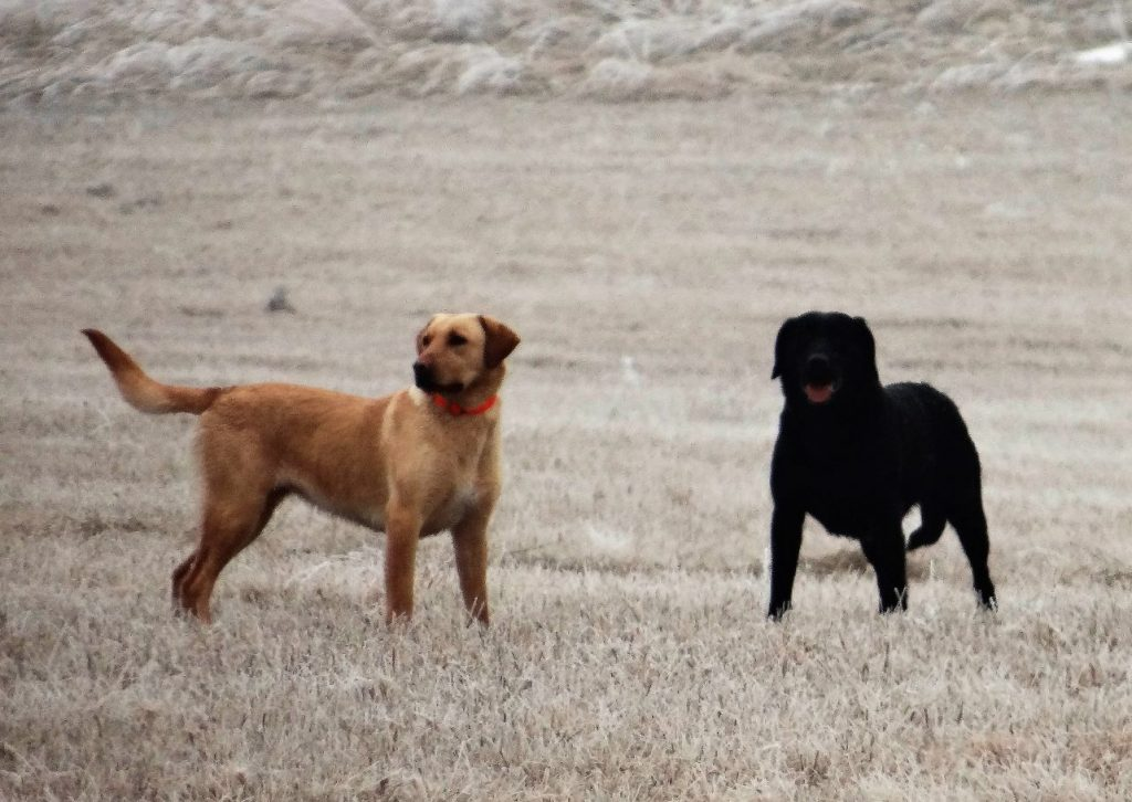 Nebraska Labrador Breeders