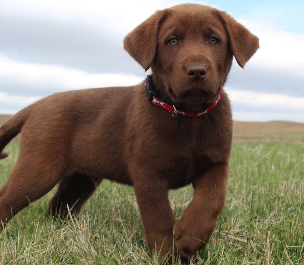 Nebraska Chocolate Lab Puppies for Sale