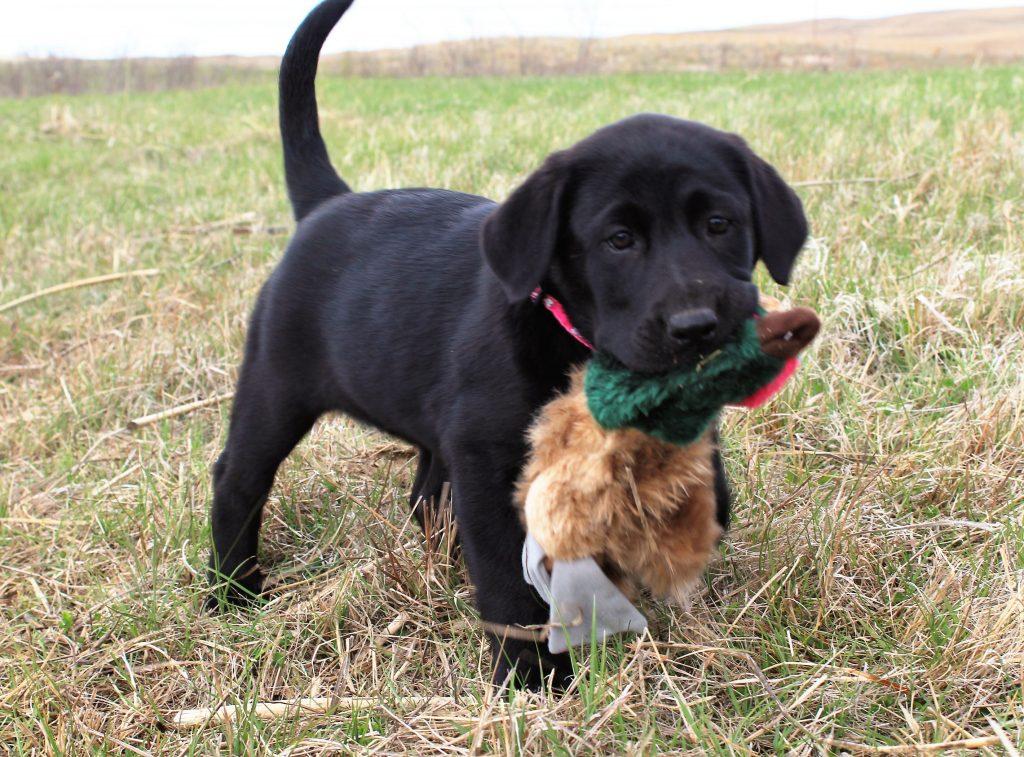 Nebraska Black Labrador Retrievers for Sale