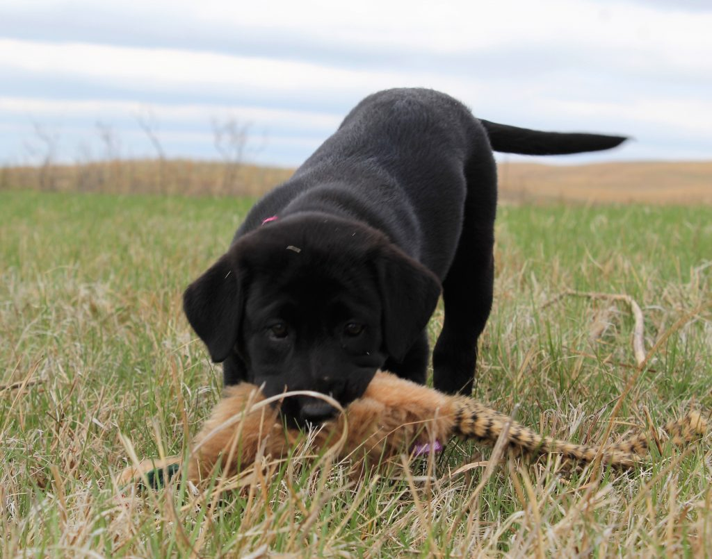 Purebred Black Labradors for Sale Nebraska