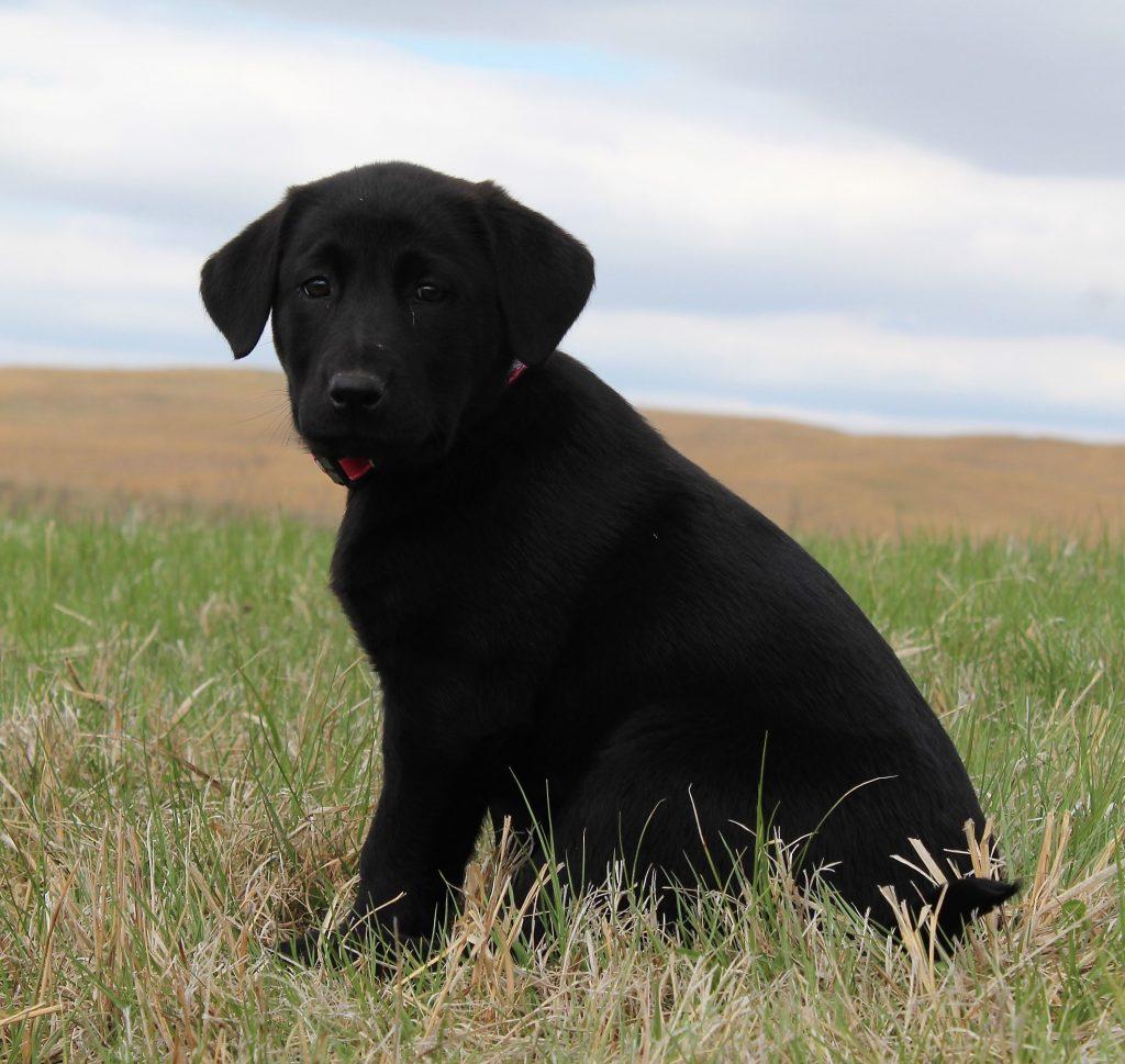 Nebraska Black Lab Puppies for Sale