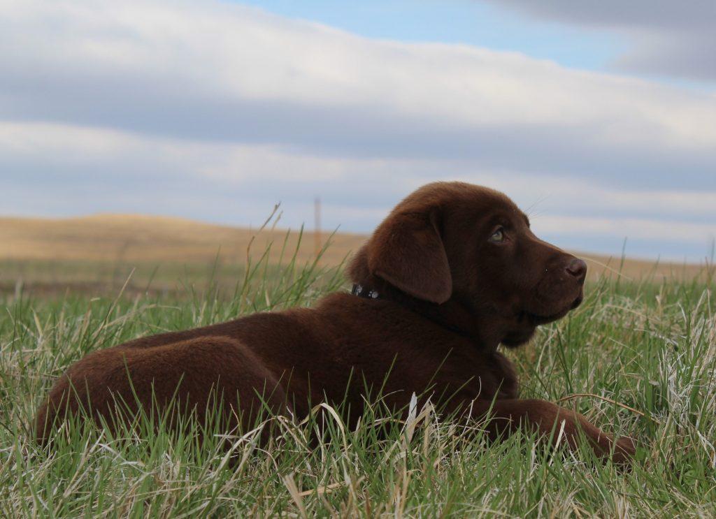 AKC Chocolate Lab Puppies for Sale in Nebraska