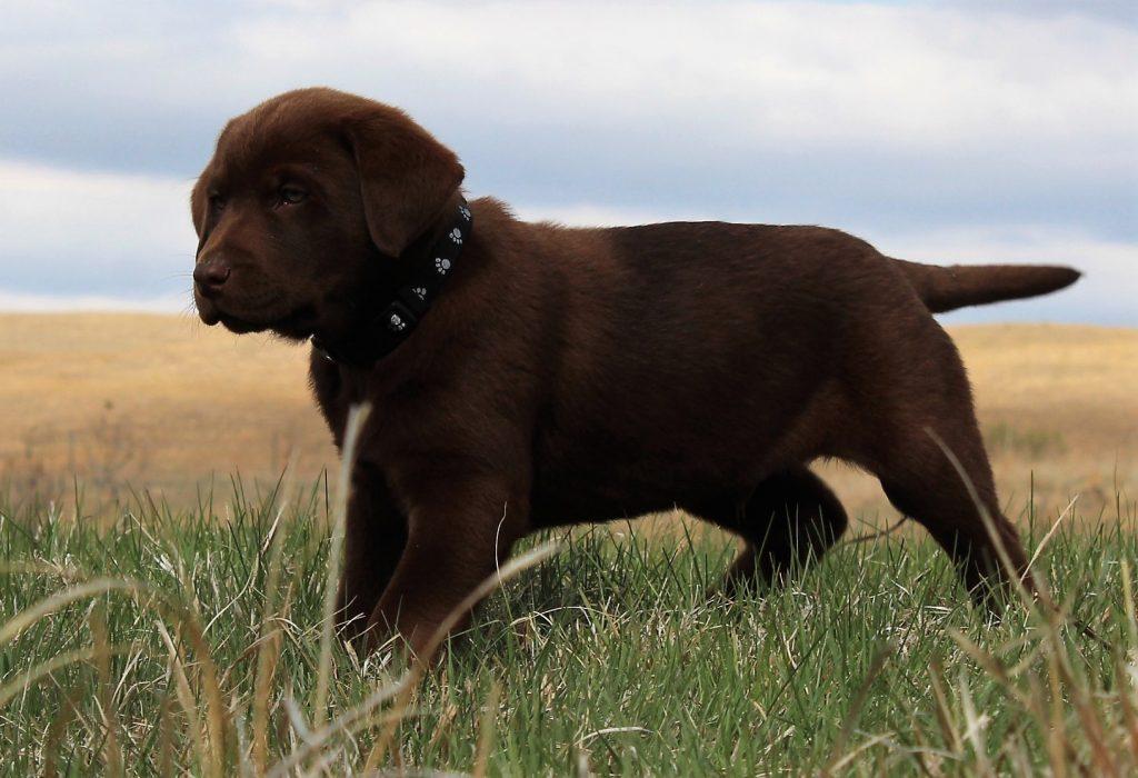 Nebraska Purebred Labrador Retrievers