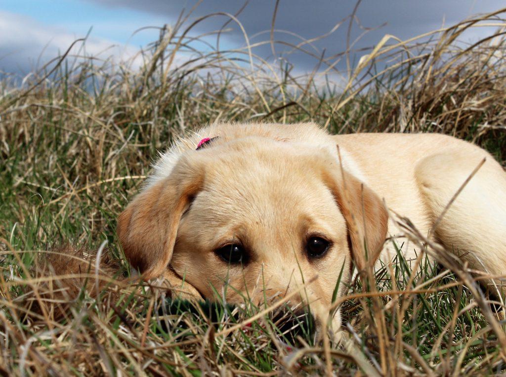 Yellow Labrador Retriever for Sale Nebraska