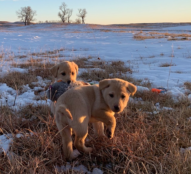 Nebraska Best Family Dog Labrador Retriever