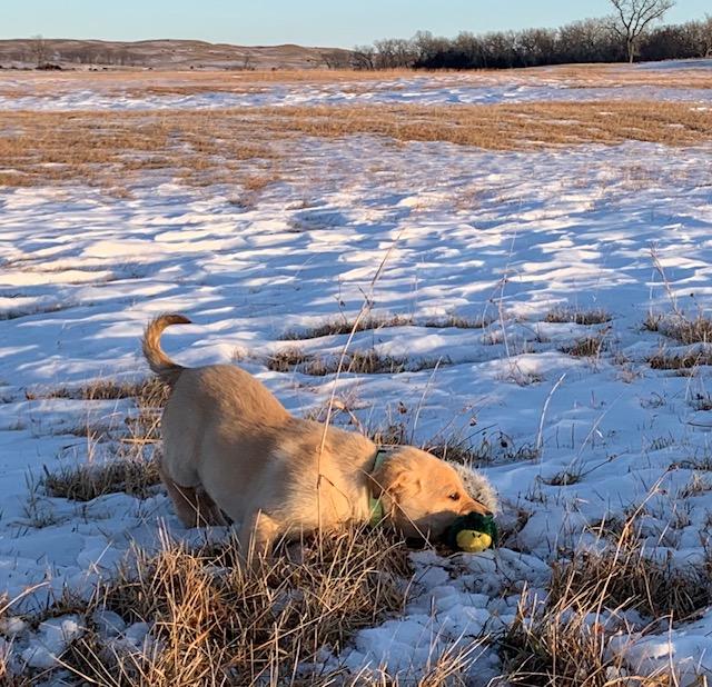 Nebraska Hunting Labs for Sale
