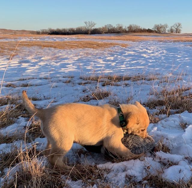 Nebraska Registered Labrador Puppies for Sale