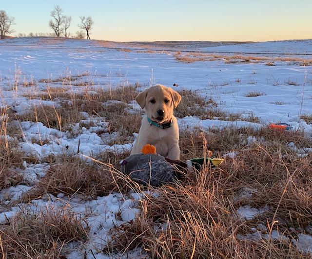 Nebraska Yellow Labrador Retriever