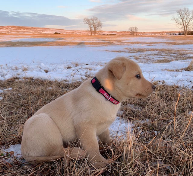 Nebraska Purebred Labs make best family pet