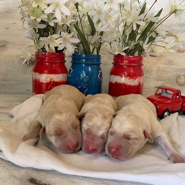 Yellow Labrador Retrievers for Sale in Nebraska