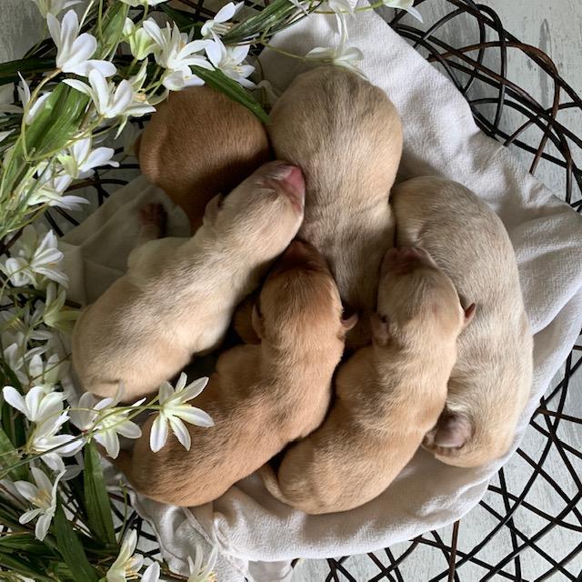 Nebraska Available for Adoption Labrador Puppies