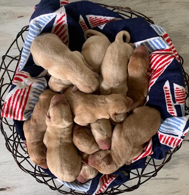 Nebraska Yellow Labrador Retriever AKC registered Puppies for Sale