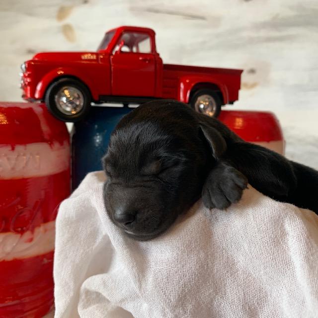 Black Labrador Retrievers for Sale in Nebraska
