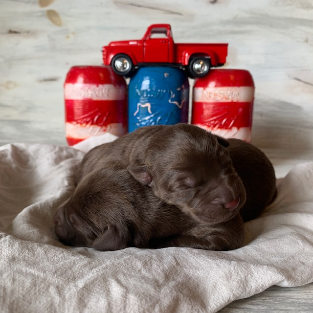 Family Raised Chocolate Lab Puppies for Sale