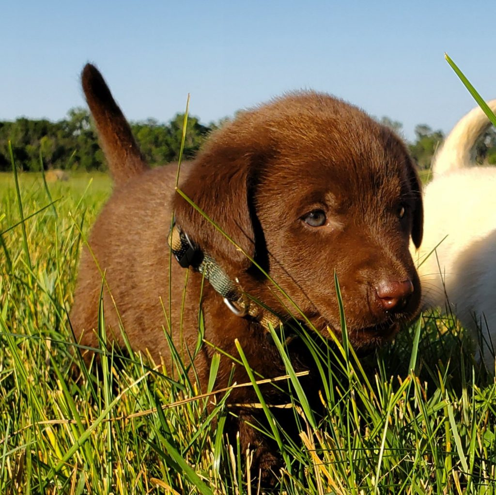 Nebraska Chocolate Labrador Retriever Puppies for Sale