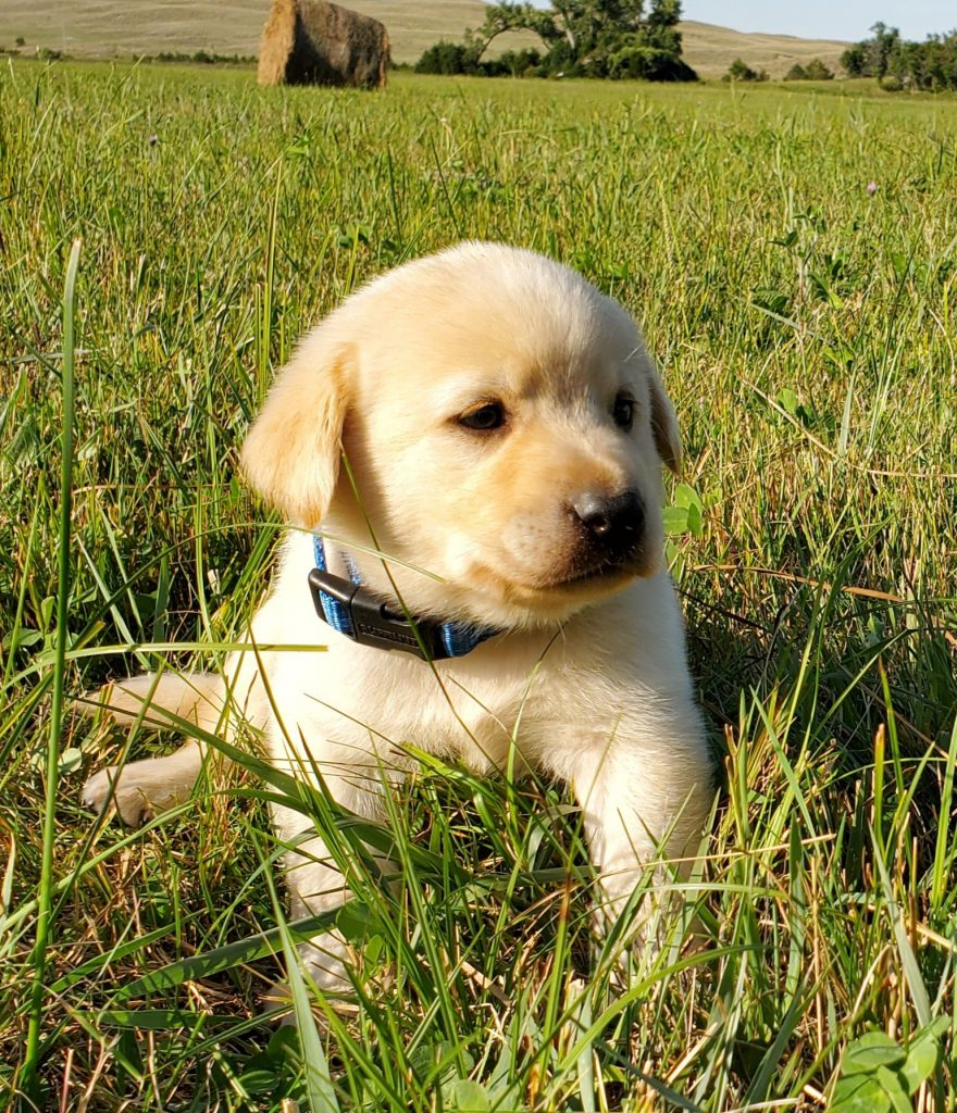 Nebraska Yellow Labrador Registered Puppies for Sale
