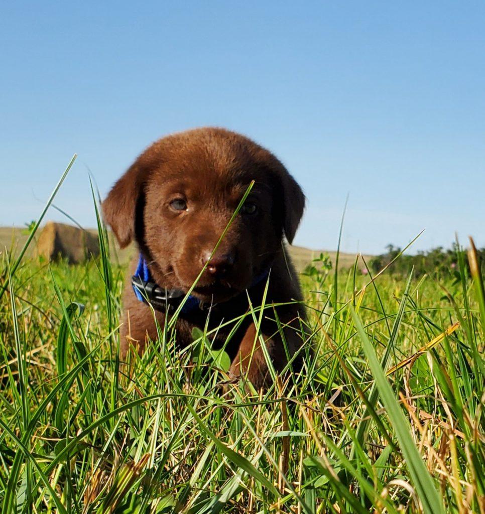 Nebraska Chocolate Labrador Puppies for Sale