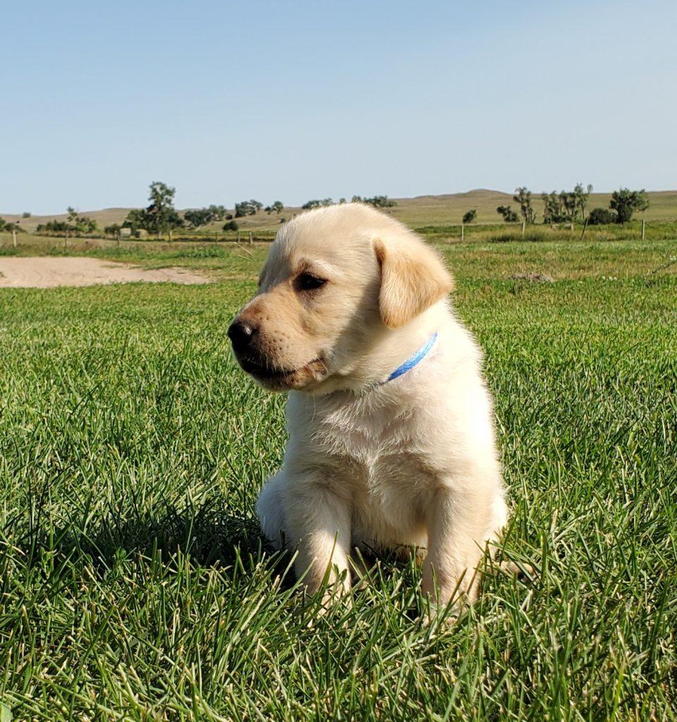 Nebraska AKC Registered Labrador Puppies for Sale