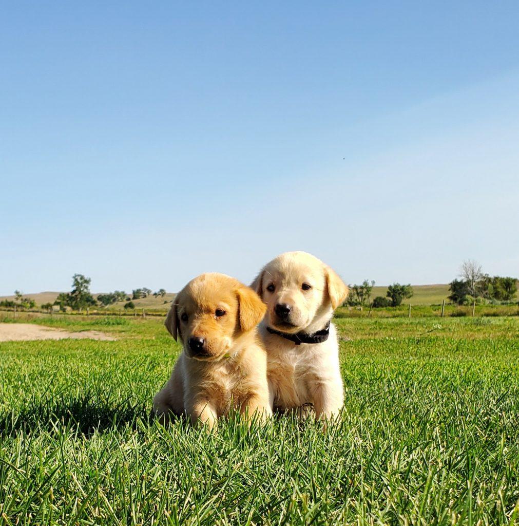 Nebraska Family Raised Family Pet Labrador Retriever Puppies for Sale