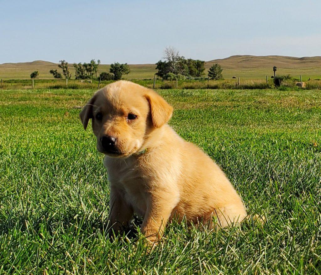 Nebraska Hunting Labrador Puppies for Sale