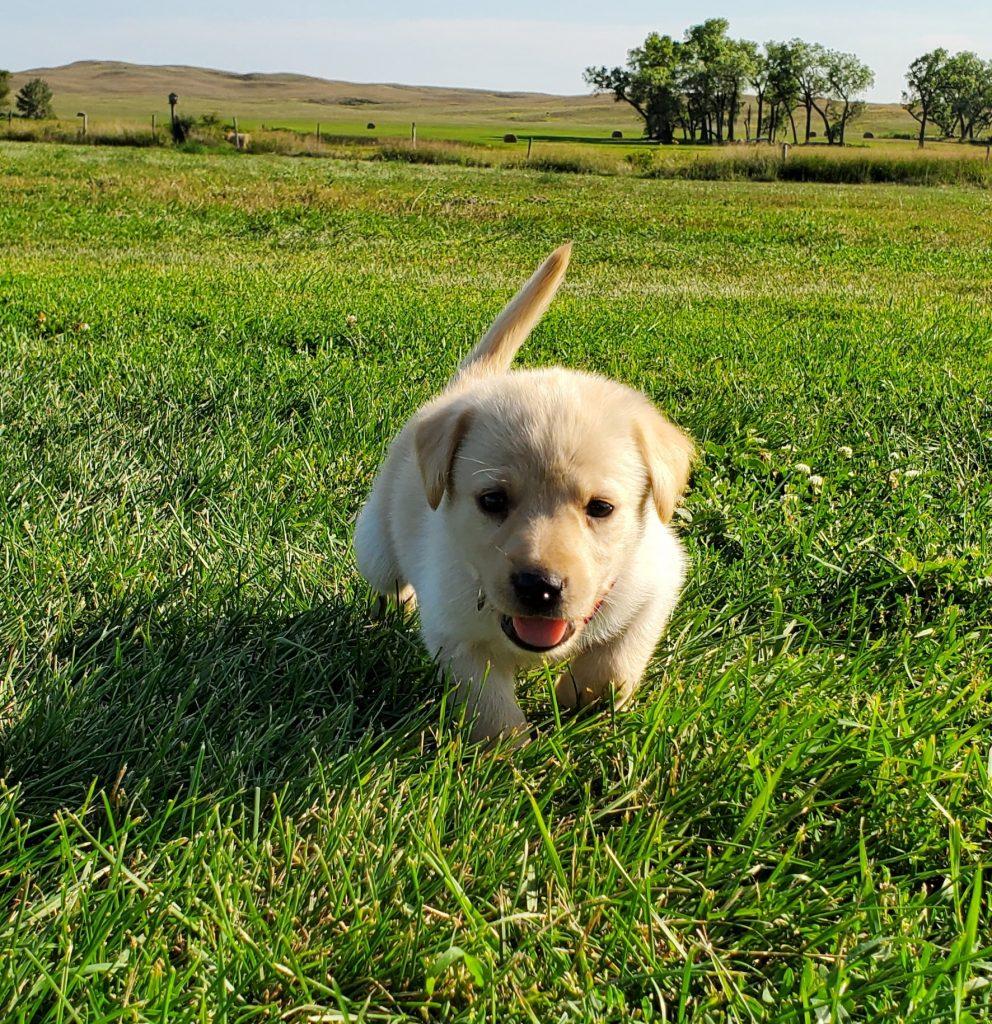 Nebraska Labrador Retrievers