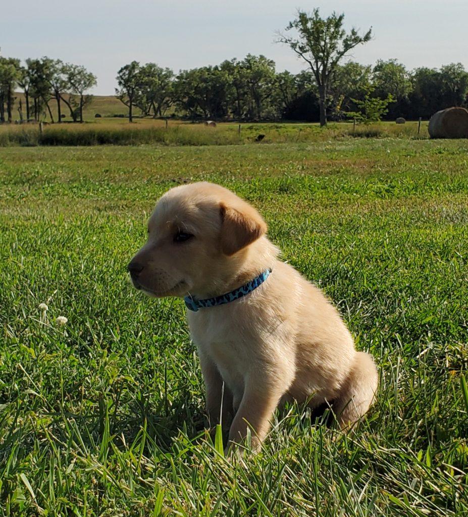 Nebraska Yellow Lab Puppies for Sale