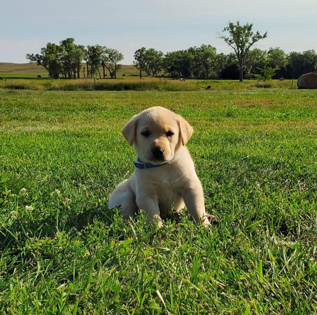 Nebraska Family Raised Labrador Puppies for Sale