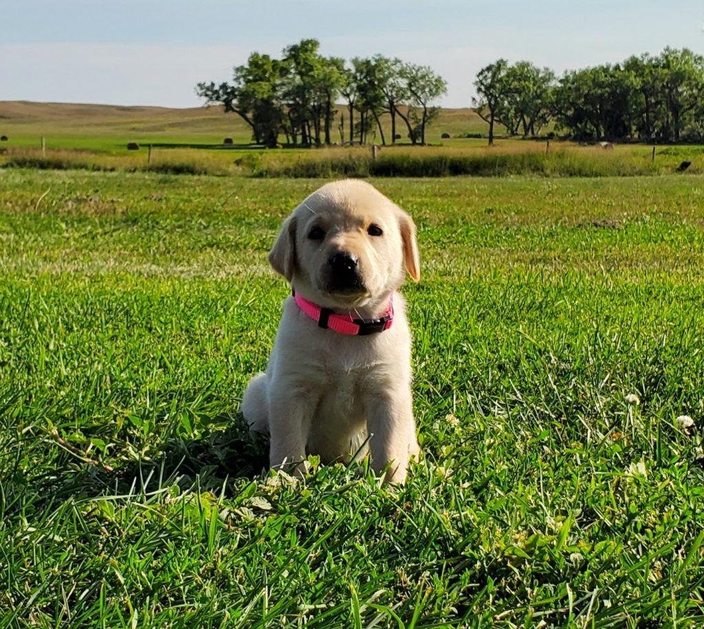 Nebraska Hunting Lab Puppies for Sale