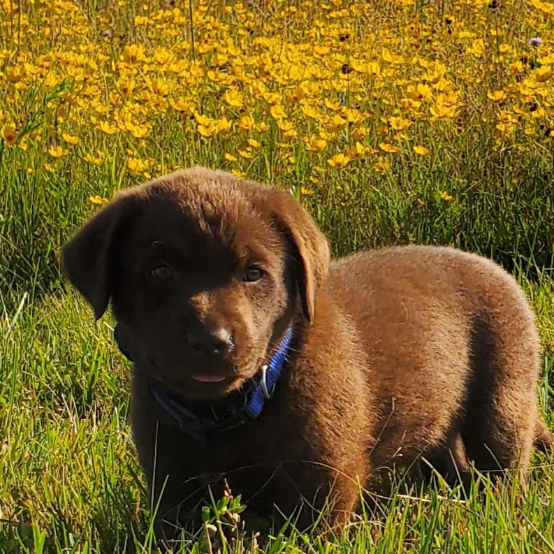 Nebraska AKC Registered Chocolate Labrador REtriever Puppies for Sale