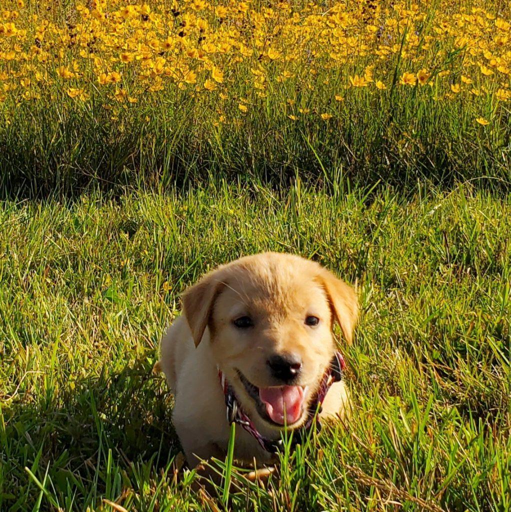 Nebraska Labrador Retriever Puppy for Sale