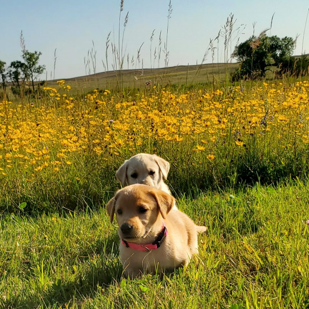 Nebraska Labrador Puppies for Sale