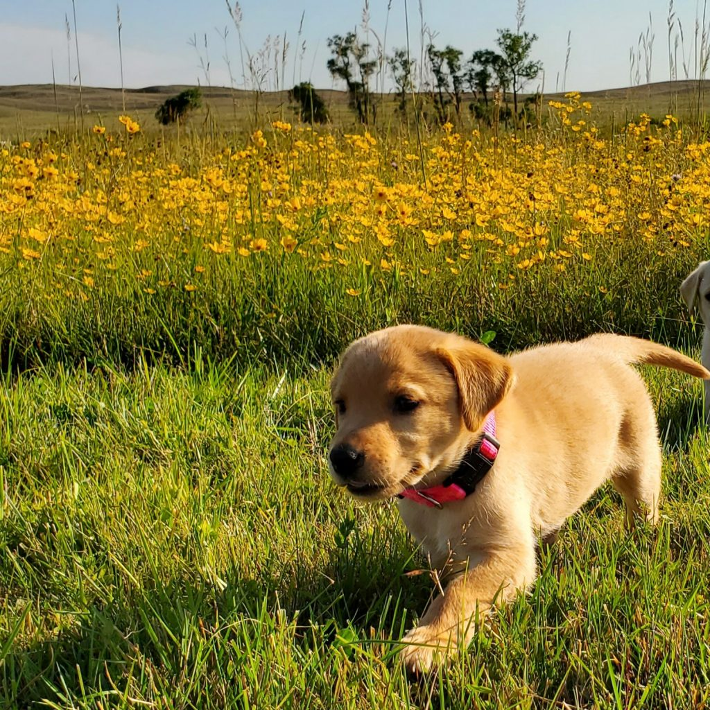 Nebraska Lab Puppies for Sale