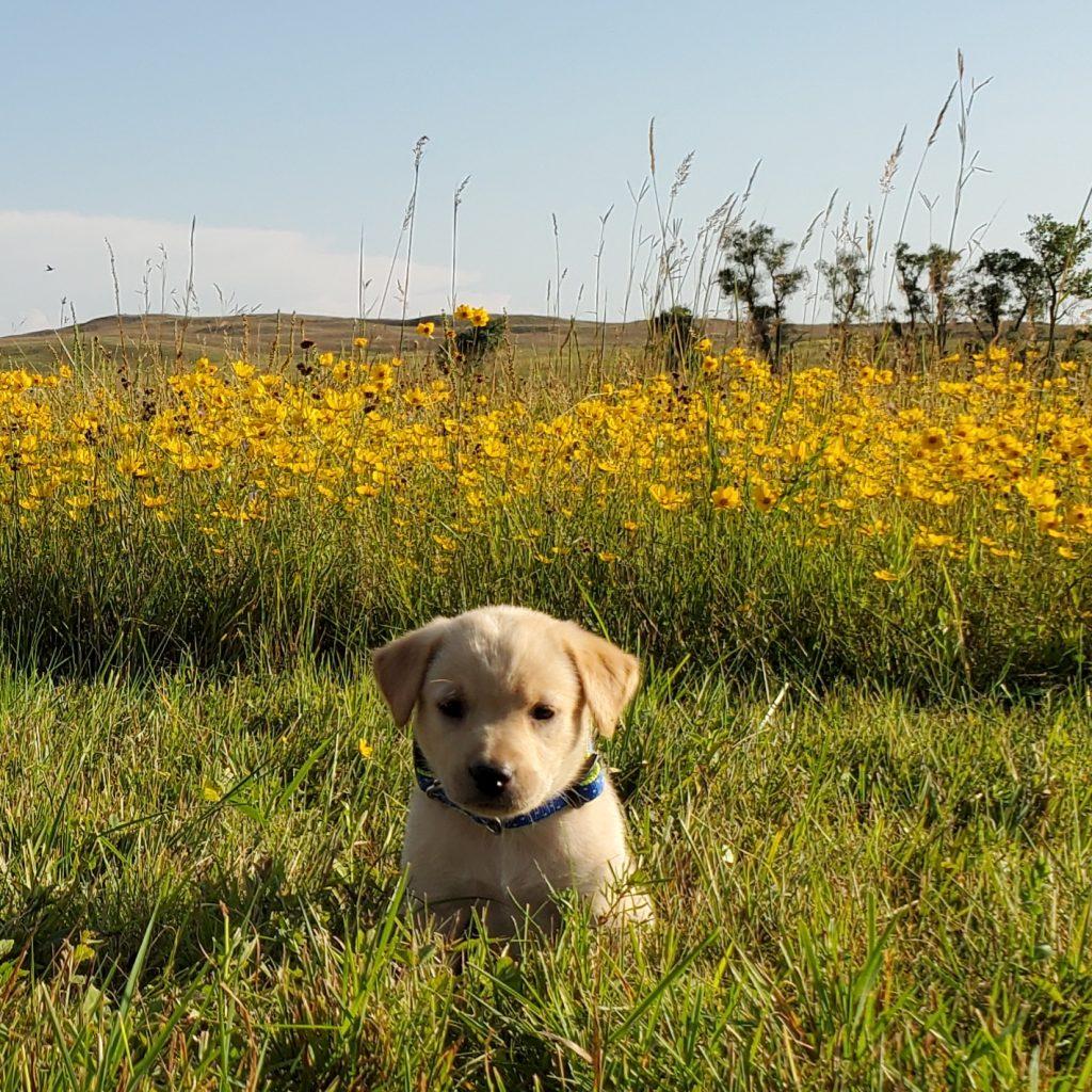 Nebraska AKC Labrador Retriever Puppy for Sale